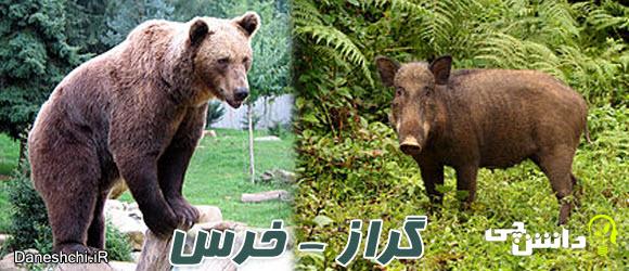 اهمیت گراز و خرس در جنگل