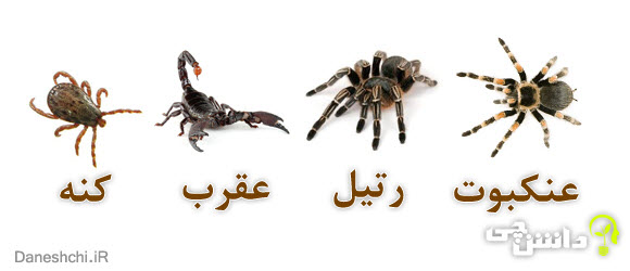 عنکبوتیان   عنکبوت ، رتیل ، عقرب و کنه